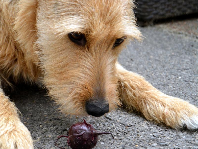 Rote Bete - ein regionales Superfood, auch für den Hund